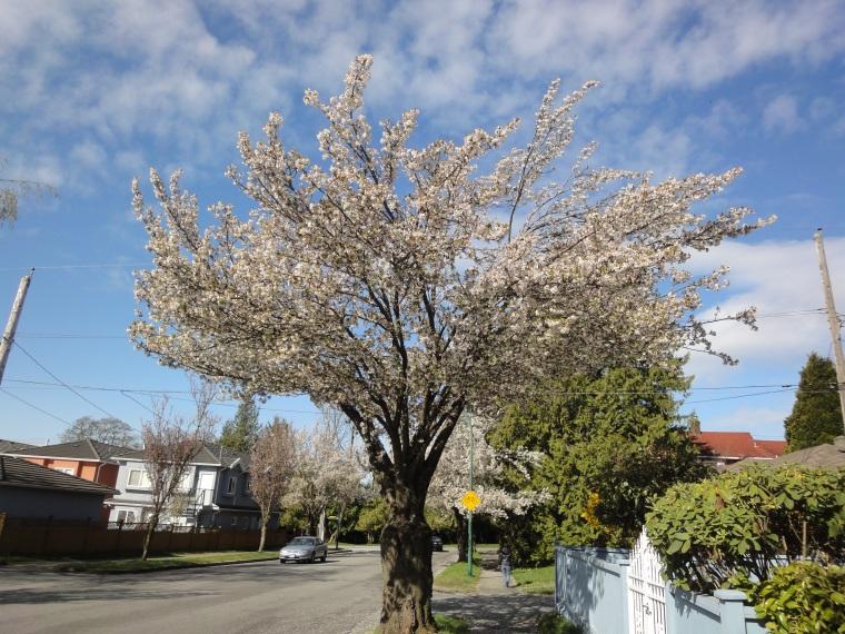 加拿大旅遊 溫哥華旅遊 溫哥華賞櫻 溫哥華櫻花 海貓櫻 Vancouver  Cherry Blossom Okame