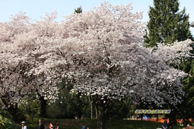 加拿大旅遊 溫哥華旅遊 溫哥華賞櫻 溫哥華櫻花 Vancouver Cherry Blossom