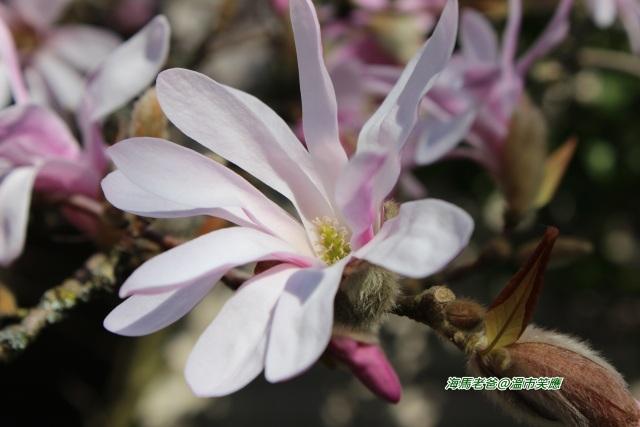溫哥華春季賞花木蓮花又稱木蘭花,辛夷