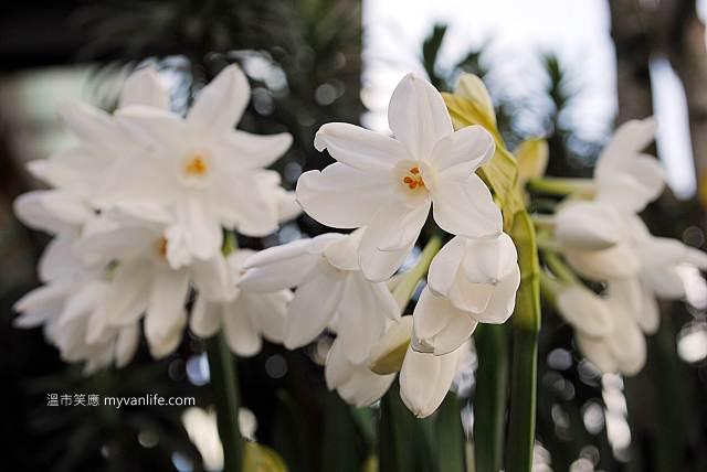 溫哥華旅遊推薦春天賞花繽紛燦爛的水仙花