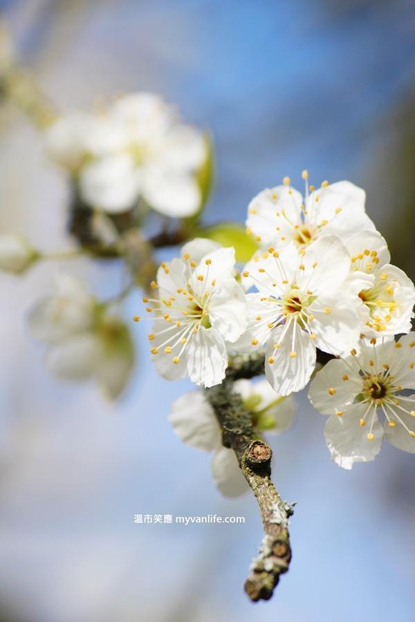 綠葉李花2013plumflower