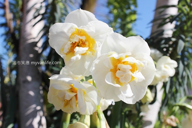 IMG_38722013narcissus