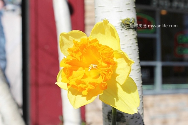 IMG_38762013narcissus