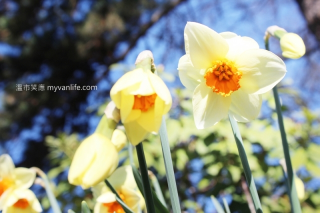 IMG_39012013narcissus