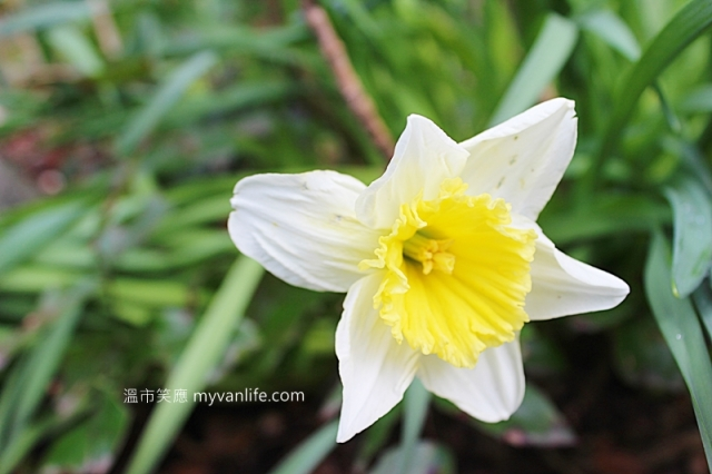 IMG_41222013narcissus