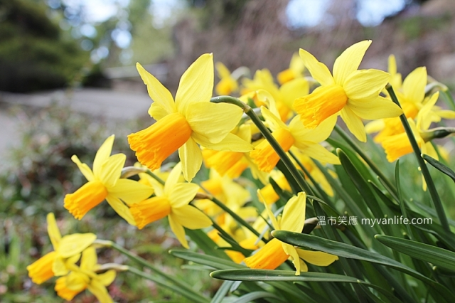 IMG_41452013narcissus