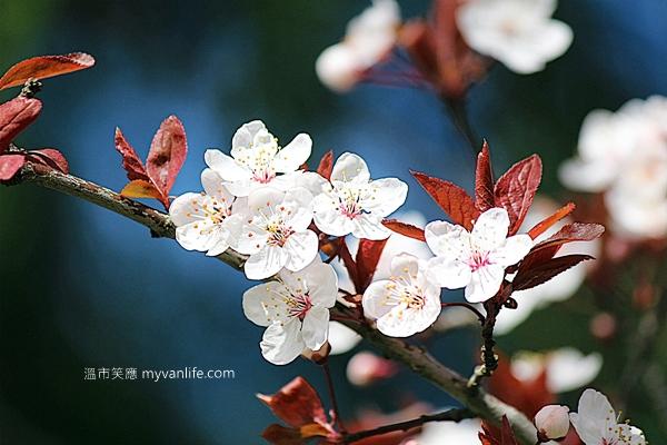 IMG_44212013plumflower