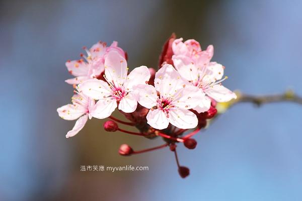 IMG_44242013plumflower
