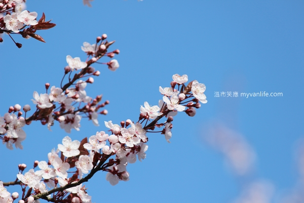 IMG_44392013plumflower