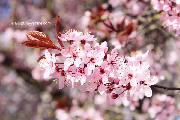IMG_46502013plumflower