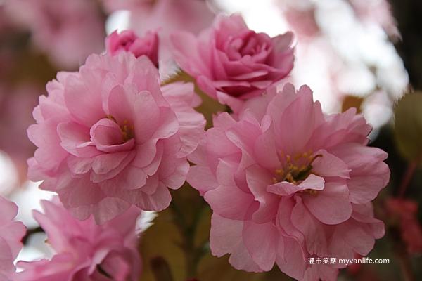 溫哥華推薦春季賞櫻櫻花品種關山櫻Kanzan