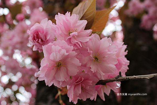 IMG_1872關山櫻