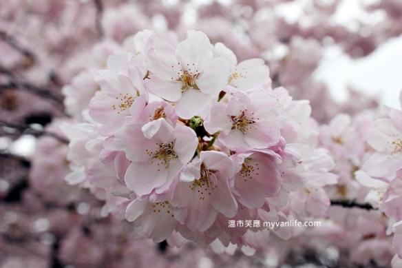 IMG_4996Manitoba Street Sakura