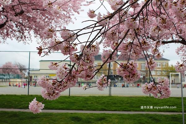 IMG_4998Manitoba Street Sakura