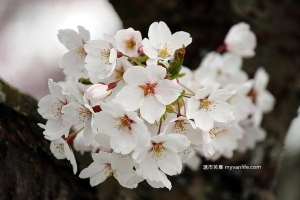 IMG_5033Manitoba Street Sakura