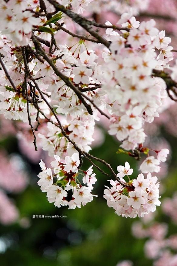 IMG_5035Manitoba Street Sakura