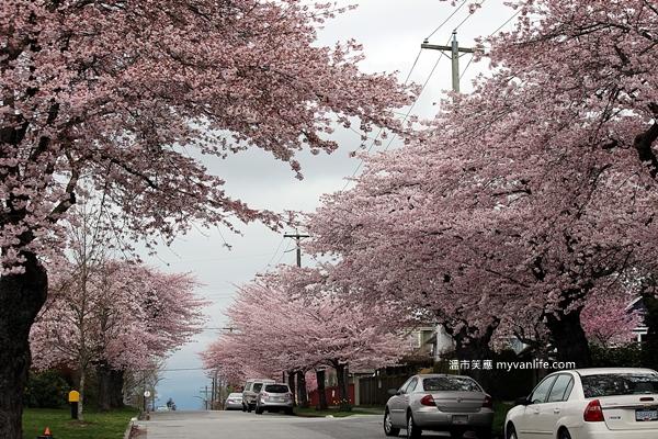IMG_5049Manitoba Street Sakura