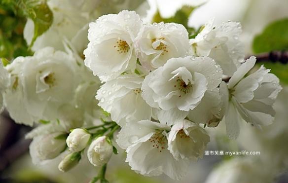 IMG_5476Shirotae cherry