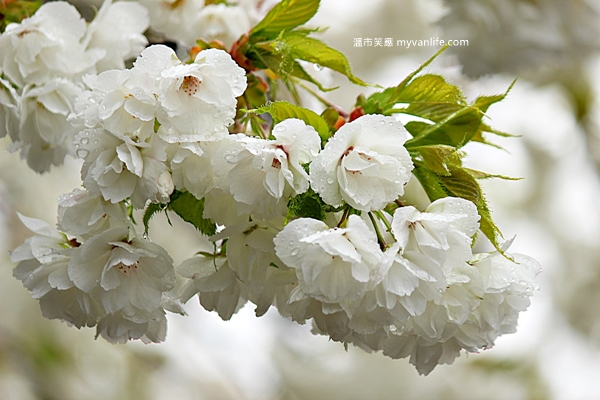 IMG_5507Shirotae cherry