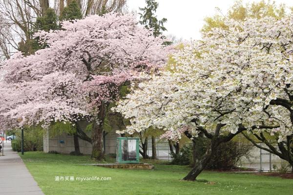 IMG_5536Oshima cherry