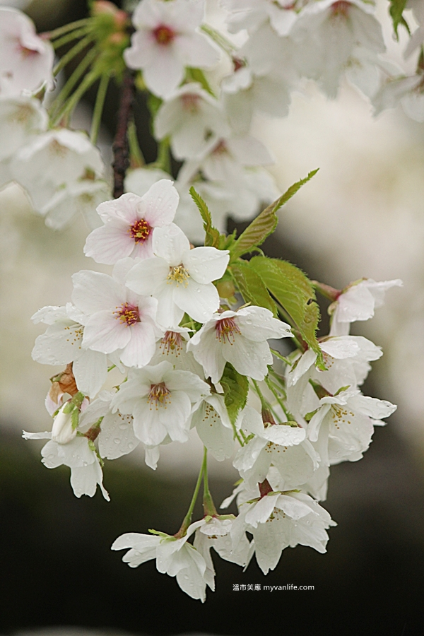 IMG_5544Oshima cherry
