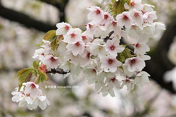 IMG_5546Oshima cherry