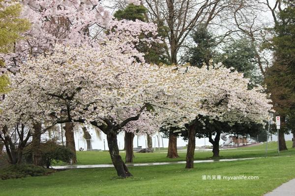 IMG_5548Oshima cherry