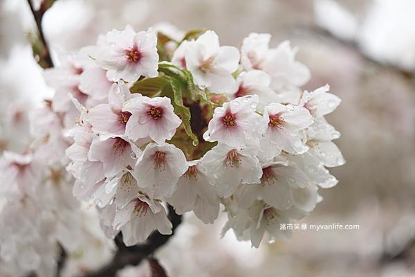 IMG_5555Oshima cherry