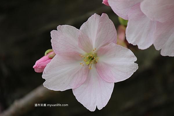 加拿大旅遊 溫哥華旅遊 溫哥華賞櫻 御返車櫻 Vancouver Cherry Blossom Mikuruma-gaeshi
