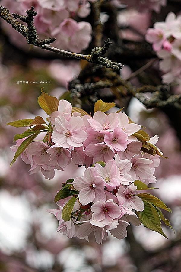 加拿大旅遊 溫哥華旅遊 溫哥華賞櫻 御車返櫻 Vancouver Cherry Blossom Mikuruma-gaeshi