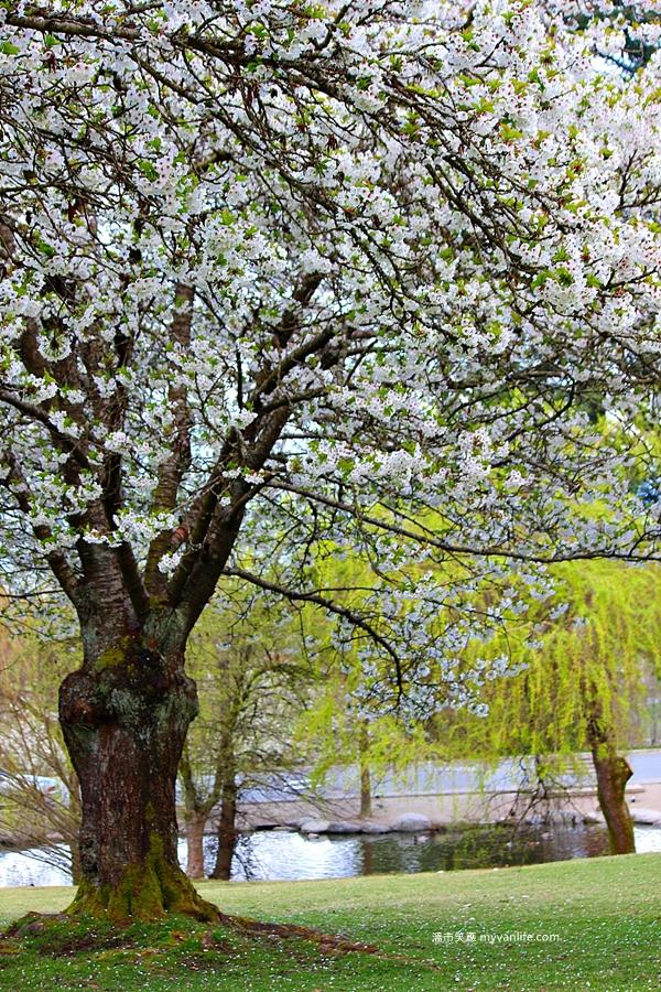 加拿大旅遊 溫哥華櫻花 Vancouver Cherry Blossom 海貓櫻 Umineko sakura