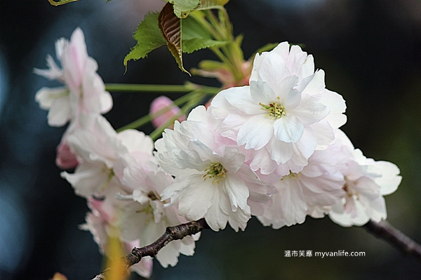 IMG_6672一葉櫻