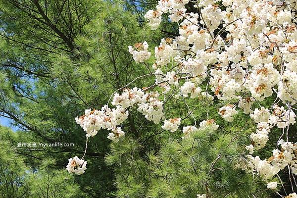 加拿大旅遊 溫哥華旅遊 溫哥華賞櫻 Ukon Cherry Blossom 鬱金櫻