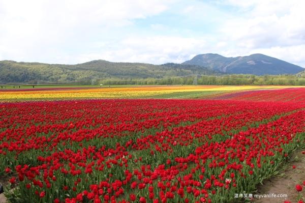 IMG_6942Fraser River Velly Tulips Festival