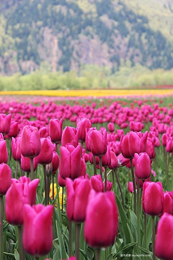IMG_6949Fraser River Velly Tulips Festival