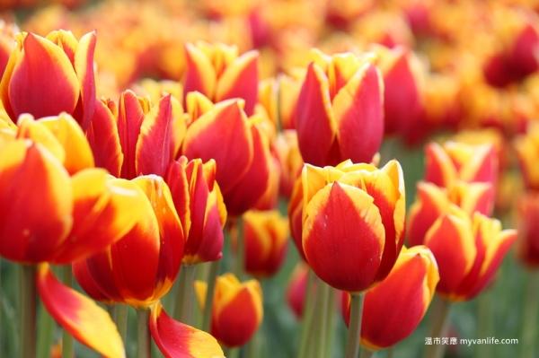 IMG_6972Fraser River Velly Tulips Festival