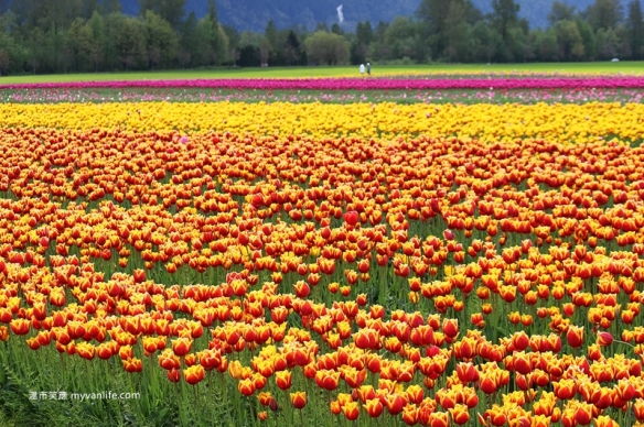 IMG_6977Fraser River Velly Tulips Festival