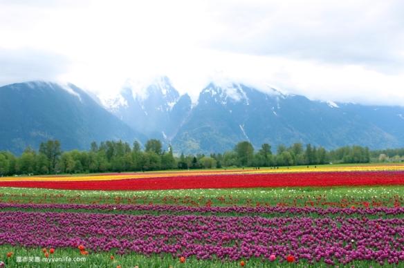 IMG_6996Fraser River Velly Tulips Festival