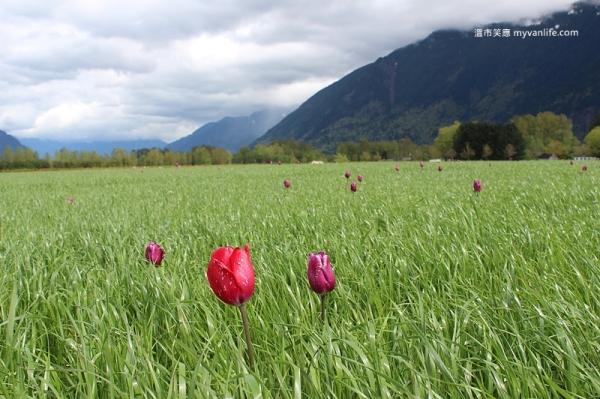 IMG_7003Fraser River Velly Tulips Festival