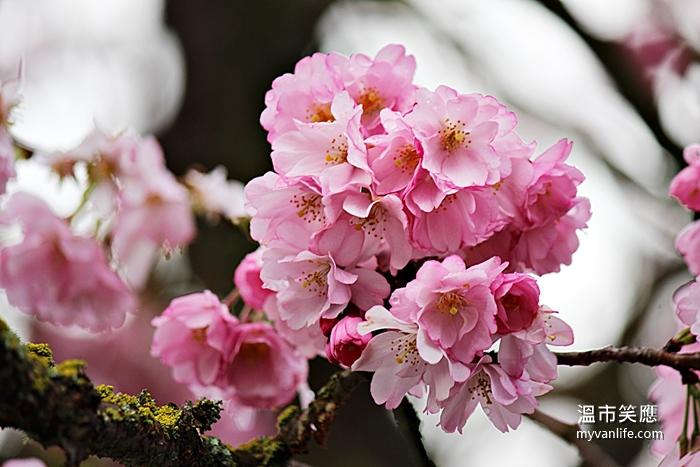 溫哥華旅遊推薦春天賞櫻褒獎櫻Accolate Cherry Blossom