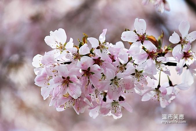 cherryblossomIMG_2187Pandora