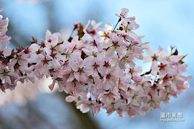 cherryblossomIMG_2190Pandora
