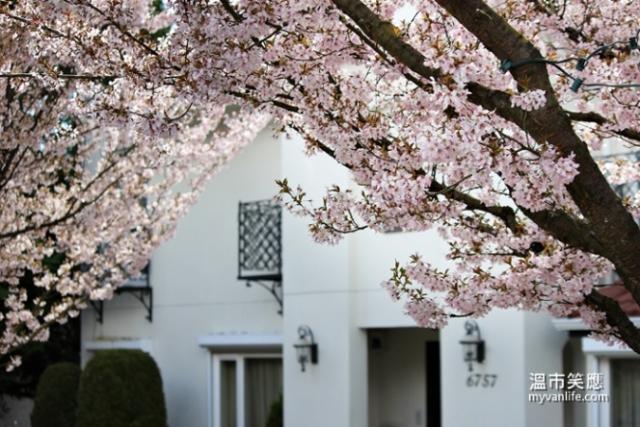 加拿大溫哥華旅遊春季溫哥華賞櫻Pandora Cherry Blossom 潘朵拉櫻 賞櫻攻略