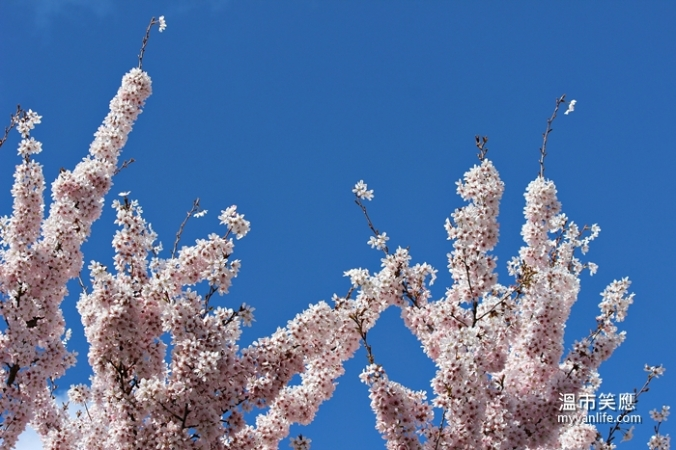 cherryblossomIMG_2195Pandora