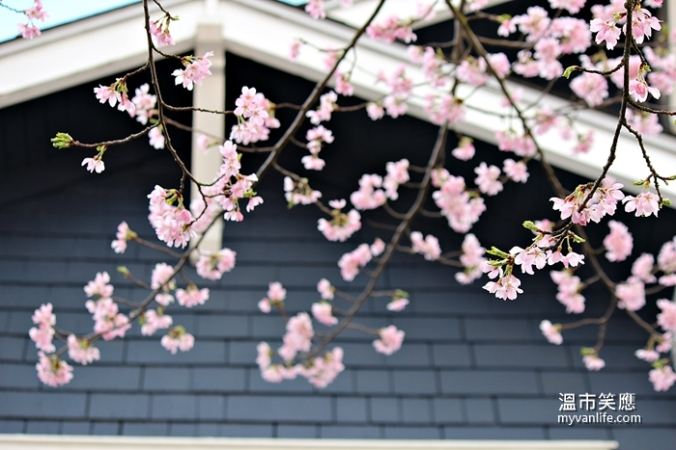 cherryblossomIMG_2290Afterglow