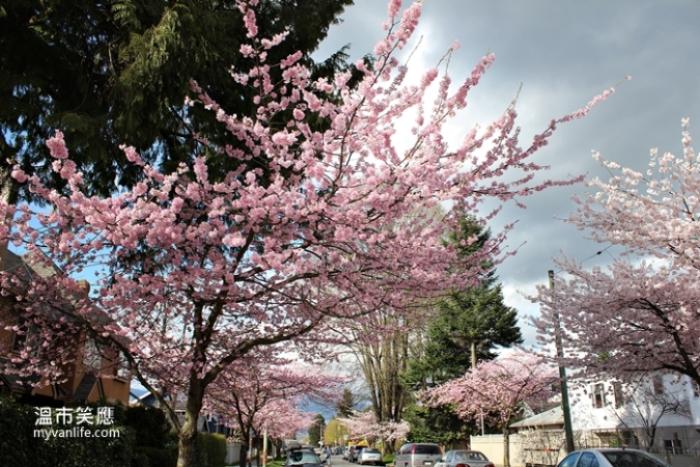 加拿大旅遊 溫哥華旅遊 春季賞櫻 溫哥華賞櫻 Vancouver Cherry Blossom 夕櫻 Afterglow