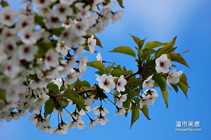 cherryblossomIMG_2576Snow Goose