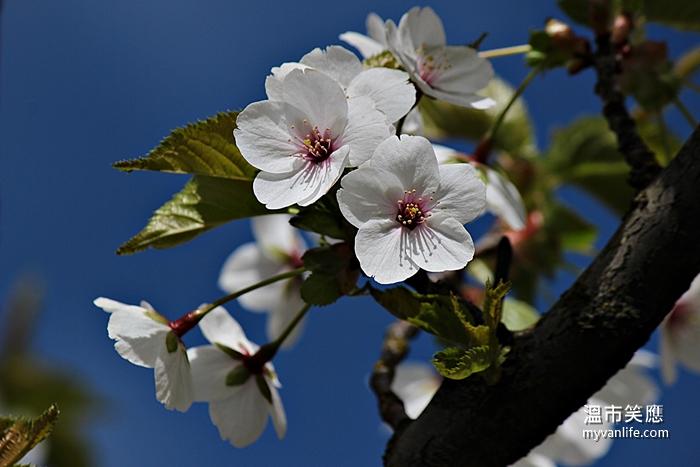 cherryblossomIMG_2593Snow Goose