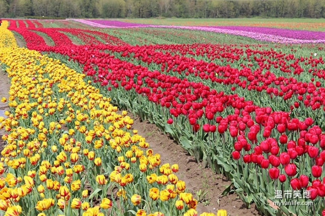flowerIMG_28272014tulip