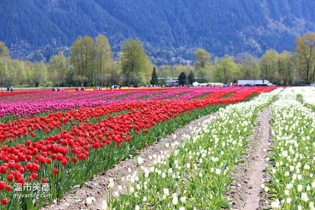 flowerIMG_28982014tulip